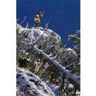 Un chamois en hiver
